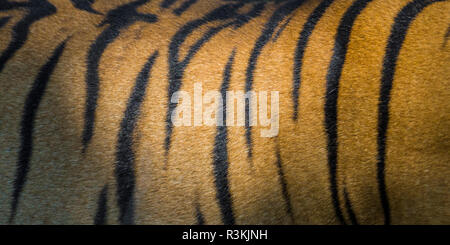 India. Male Bengal tiger skin (Pantera Tigris Tigris) showing the stripes that enable them to blend into their surroundings while on the hunt. - Stock Photo