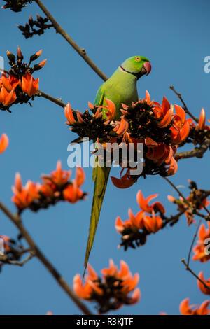 India. Rose-Ringed Parakeet (Psittacula krameri) in a flame-of-the-forest tree (Butea monosperma). - Stock Photo