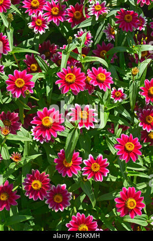 Close up of a flower border with colouful flowering Zinnia 'Zany Rose Pico' - Stock Photo