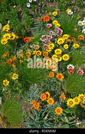 Close up of a flower border with the colouful flowering Gazania 'Frosty Mixed' - Stock Photo