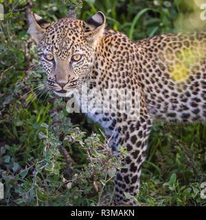 Africa. Tanzania. African leopard (Panthera pardus) stalking prey, Serengeti National Park. - Stock Photo