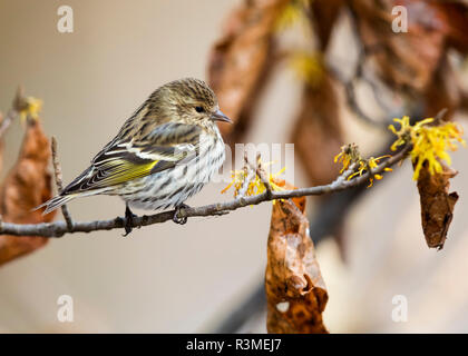 Pine Siskin (Spinus pinus) perched on a Witch Hazel branch in late autumn - Ontario, Canada - Stock Photo