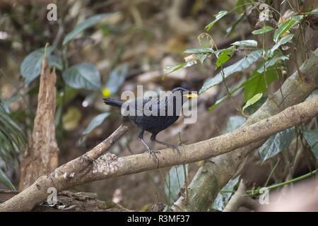 Blue Whistling Thrush (Myophonus caeruleus) on a branch, Tongbiguan, Yunnan, China - Stock Photo