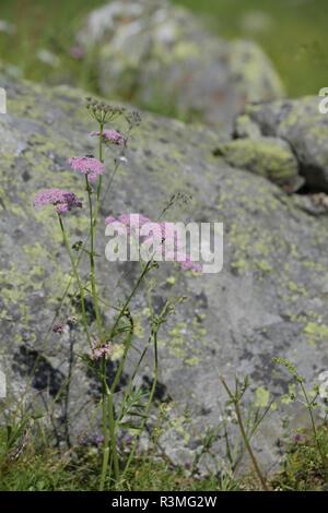 Hollowstem Burnet Saxifrage (Pimpinella major) flowers, Alps, france - Stock Photo