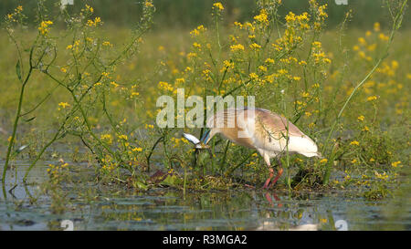 Squacco Heron (Ardeola ralloides) having caught two fish, spring, Lake Kerkini, Greece - Stock Photo