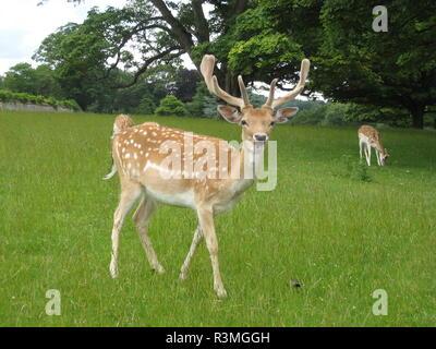 fallow deer on meadow