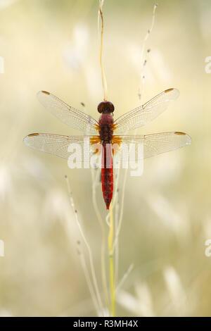 Scarlet dragonfly (Crocothemis erythraea), Arles, Provence, France - Stock Photo