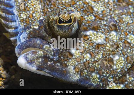 Wide-eyed flounder(Bothus podas), Tenerife, Fish of the Canary Islands. - Stock Photo