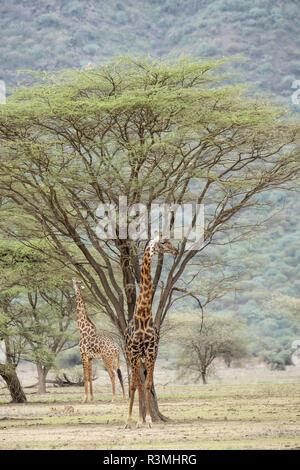 Masai Giraffe (Giraffa tippelskirchi), male, Lake Magadi, Kenya - Stock Photo