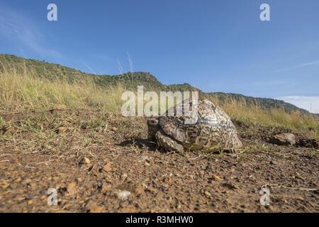 Leopard tortoise (Stigmochelys pardalis), Masai-Mara Reserve, Kenya - Stock Photo