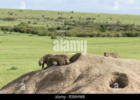 Banded Mango (Mungos mungo), troop on a termite mound in its territory, Masai-Mara Reserve, Kenya - Stock Photo