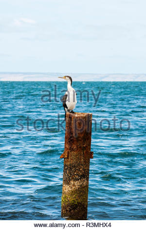 Pied Cormorant (Phalacrocorax varius) resting on a pole, Kingscote, Kangaroo island, South Australia - Stock Photo