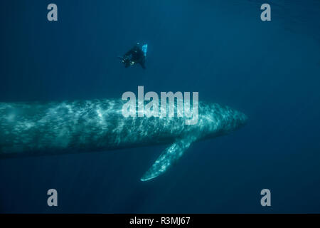 Blue Whale (Balaenoptera musculus) with a free diver, Terceira Island, Azores, Portugal, Atlantic Ocean - Stock Photo