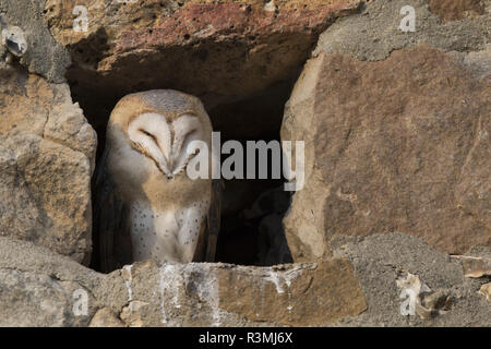 Barn owl (Tyto alba) young visible by daylight, Burgundy, France - Stock Photo