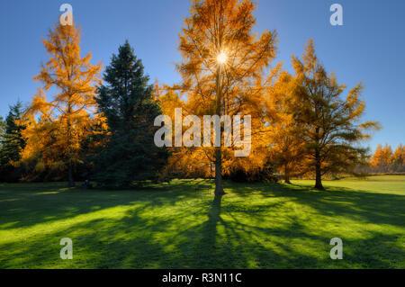 Canada, Ontario, Thunder Bay. Eastern larches in autumn foliage. - Stock Photo