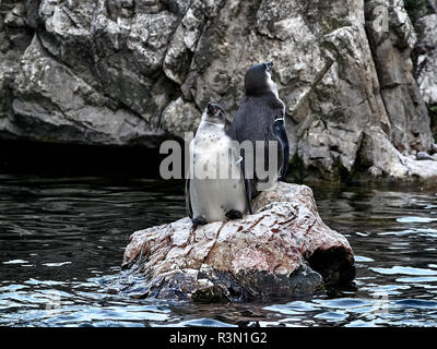 Shot of two penguins relaxing on a stone in a lake - Stock Photo