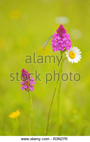 Blue-tailed damselfly (Ischnura elegans) female on a spike of pyramidal Orchid (Anacamptis pyramidalis) in a meadow also of Oxeyedaysies (Leucanthemum vulgare) and buttercups, in spring, in June, Picardie, France. - Stock Photo