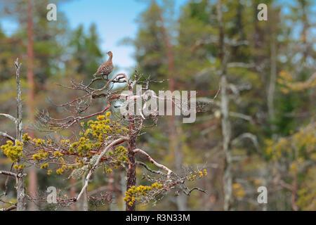 Black grouse (Lyrurus tetrix) female perched on a pine, Display on peat bog, Sweden - Stock Photo