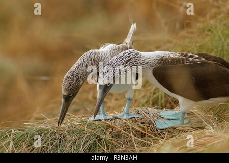 Blue-footed booby (Sula nebouxii) pair displaying, Isla Isabella, Nayarit, Mexico - Stock Photo