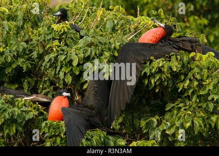 Magnificent Frigatebird (Fregata magnificens) males displaying, Isla Isabella, Nayarit, Mexico - Stock Photo