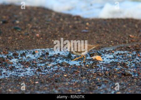 Spotted Sandpiper (Actitis macularius) on ground, Costa Rica