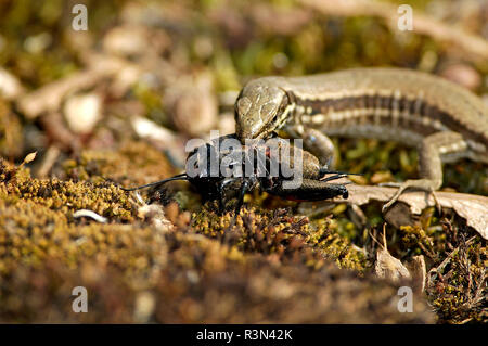 Common wall lizard (Podarcis muralis) eating a female Field cricket (Gryllus campestris), Bollenberg hill, Orschwihr, Haut Rhin, France - Stock Photo