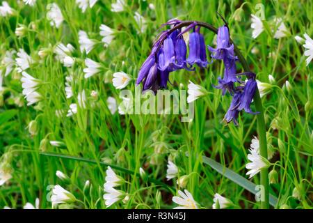 Bluebell (Hyacinthoides non scripta) flowers, Ploemeur, Morbihan, Bretagne, France - Stock Photo