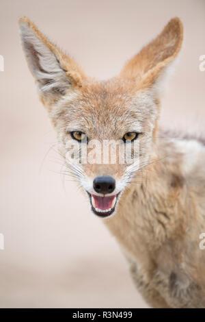 Portrait of Black-backed jackal (Canis mesomelas), Kgalagadi, Botswana - Stock Photo