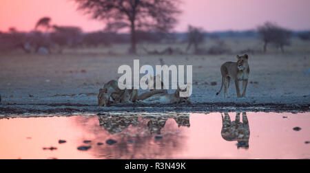 Lion (Panthera leo) lionesses drinking at the river, Nxai Pan, Botswana - Stock Photo