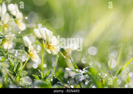 Mountain pansy(Viola lutea) flower, Alsace, France - Stock Photo