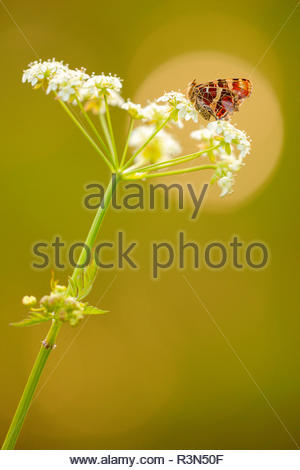 Map Butterfly (Araschnia levana) on an umbel of wild chervil (Anthriscus sylvestris) at the edge of a wood near a river, in spring, in May, in Picardie - France. - Stock Photo