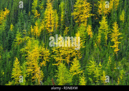 Canada, Alberta, Kananaskis Country. Western larches in autumn color. - Stock Photo