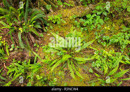 Canada, British Columbia, Helliwell Provincial Park. Ferns in forest undergrowth. - Stock Photo