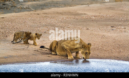 African lion (Panthera leo) in Kruger National park, South Africa. - Stock Photo