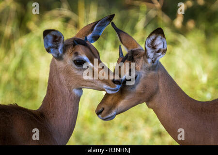 Common Impala in Kruger National park, South Africa. Specie Aepyceros melampus family of Bovidae - Stock Photo