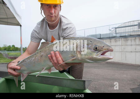 Atlantic salmon (Salmo salar), Wild salmon caught during the return migration on the Rhine, Gambsheim fish pass, Bas-Rhin, France - Stock Photo