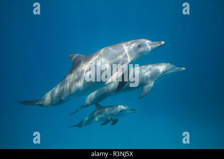Indian Ocean bottlenose dolphin (Tursiops aduncus) and young in the lagoon, Mayotte. - Stock Photo