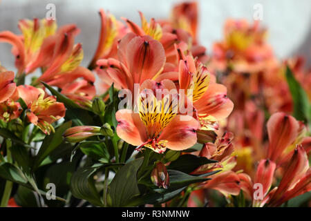 Alstroemeria peruvian lily flowering plant in bloom. Springtime nature background. - Stock Photo