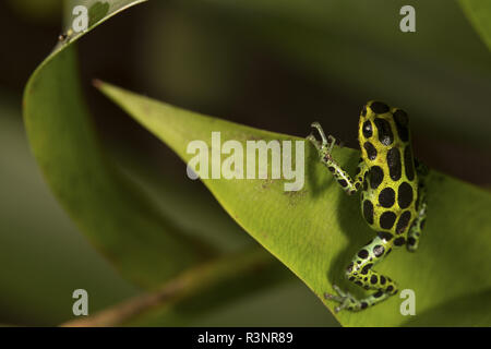 Mimic Poison Frog (Ranitomeya imitator), Amazon, Peru - Stock Photo