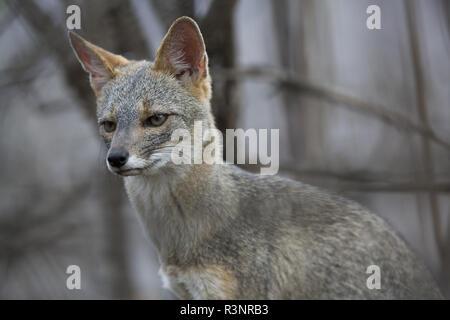 Sechuran fox (Lycalopex sechurae), Chaparri Reserve, Andean Piemont, Peru - Stock Photo