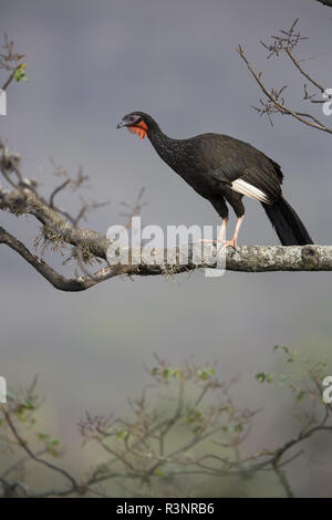 White-winged guan (Penelope albipennis), Chaparri Reserve, Andean Piemont, Peru - Stock Photo