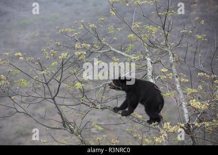 Spectacled Bear (Tremarctos ornatus) Chaparri Reserve, Andean Piemont, Peru - Stock Photo