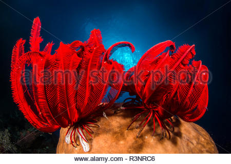 Two Red feather star (Himerometra robustipinna), Bangka Island, North Sulawesi, Indonesia - Stock Photo