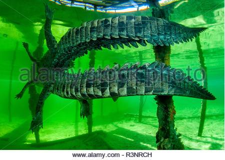 Central american alligator (Crocodylus acutus) under water, Jardines de la Reina National Park, Cuba - Stock Photo