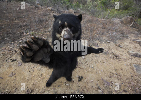 Spectacled Bear (Tremarctos ornatus) Chaparri Reserve, Andean Piemont, Peru - Stock Photo