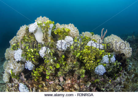 Colonies of Pulsing coral (Xenia sp) and Green Algae (Halimeda sp.), Lembeh Strait, Indonesia - Stock Photo