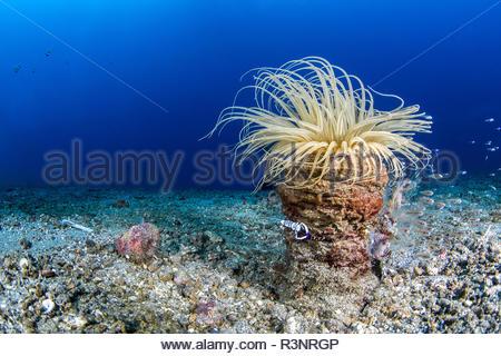 Magnificent shrimp (Periclimenes magnificus on Tube Anemone (Cerianthus sp), Lembeh Strait, Indonesia - Stock Photo