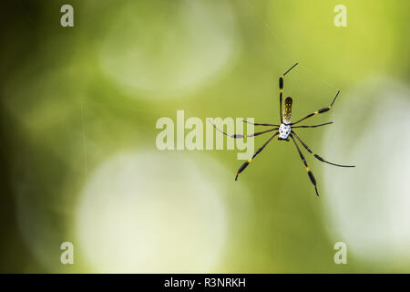 Golden orb-web spider (Nephila clavipes) on his web, Cahuita National Park, Costa Rica - Stock Photo