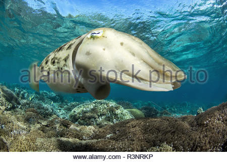 Broadclub Cuttlefish (Sepia latimanus), Bangka Island, Indonesia - Stock Photo