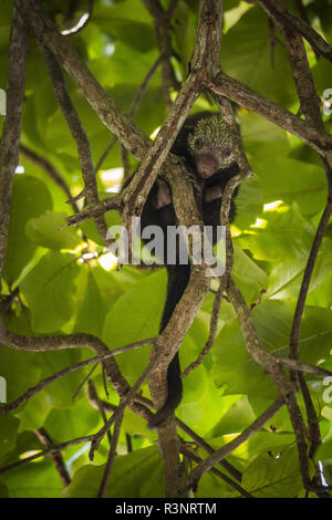Mexican tree porcupine (Coendou mexicanus) in a tree - Manuel Antonio national park - Costa Rica - Stock Photo